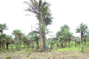 The coconut plantation now flourishing and producing coconuts.