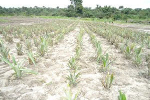 The company planted a pineapple farm in Madonke.